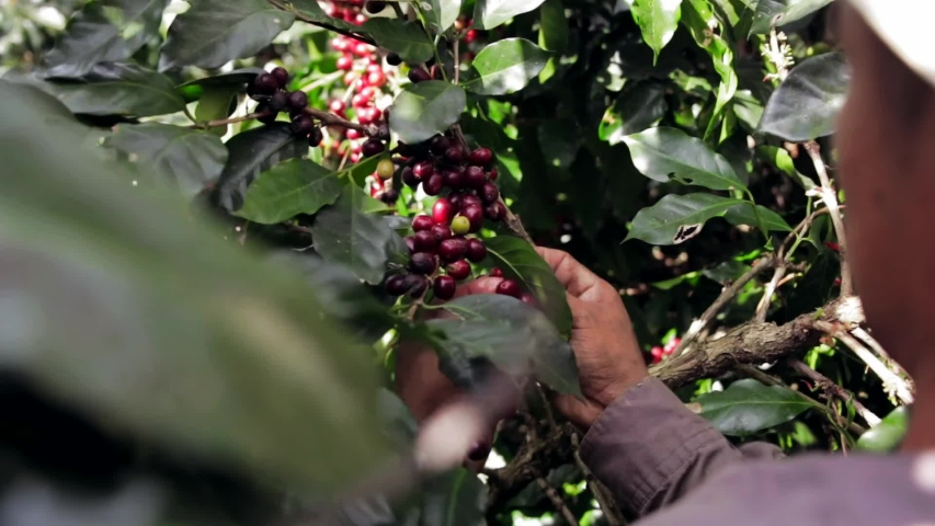 Man picking red coffee beans on a coffee farm in Central America in a sunny day.
