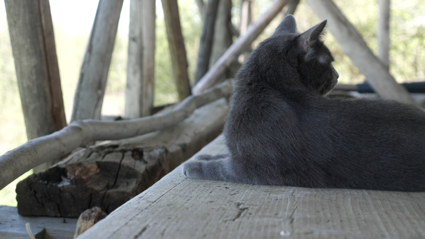 Gray cat sits on wooden boards in the barn. | Shutterstock HD Video #1054732520