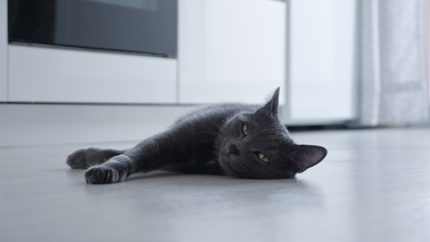 Beautiful gray cat lies on the floor in the kitchen. | Shutterstock HD Video #1054732568