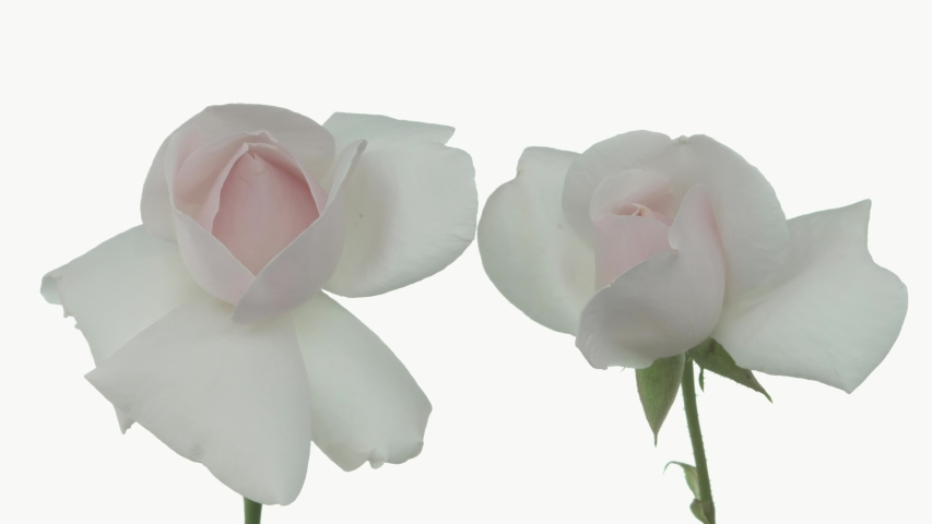 Roses bloom in time lapse. Delicate roses bloom on a white background. Gentle light floral background. Blurred background. Timelapse. | Shutterstock HD Video #1054732688