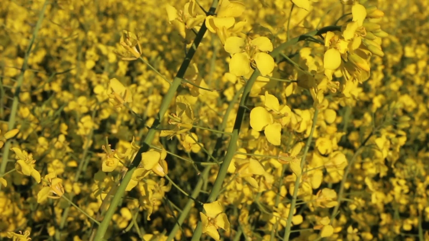 Blooming rapeseed plants in the wind in closeup