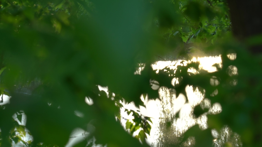 Beautiful green natural abstract video bokeh background. Sunset surface of sunny water seen through dark foliage of old trees growing in forest outside.