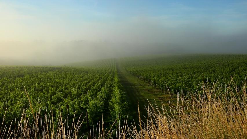 Sunset landscape and fog, Bordeaux wineyard, Tabanac | Shutterstock HD Video #1054732949