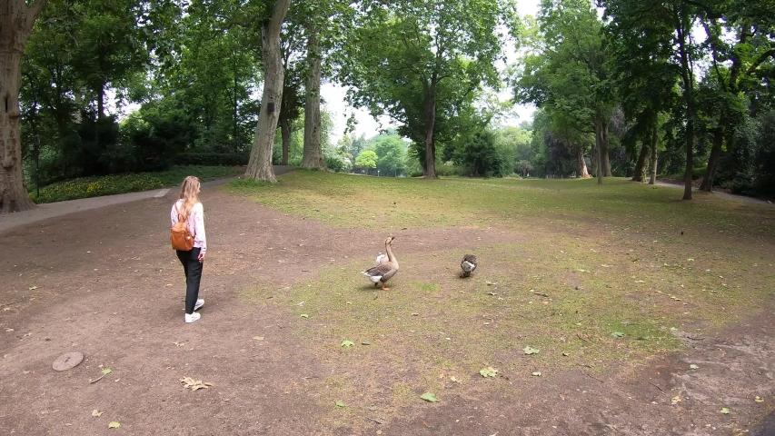 Birds gooses, ducks in Dusseldorf city park near lake, Germany, 2020, 4K