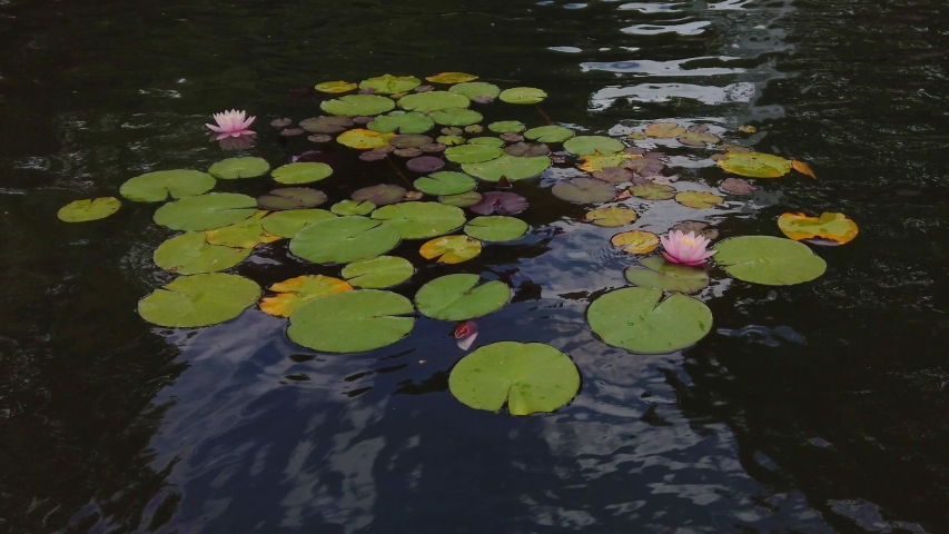 Water lilies floating in a lake | Shutterstock HD Video #1054734413