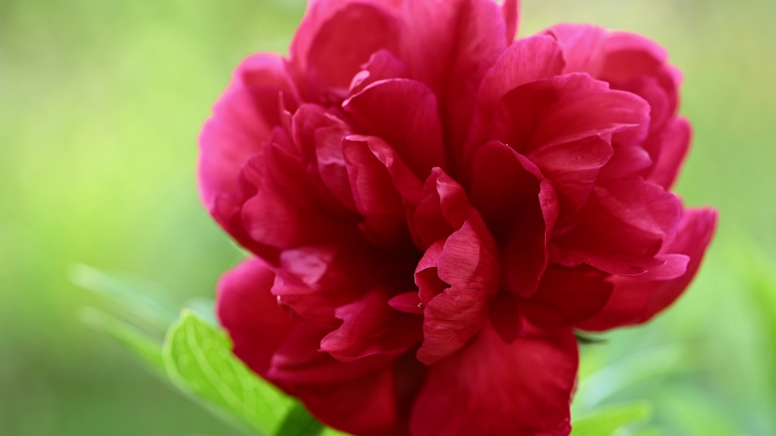 Fresh red peony background. Red blooming peony flower (Paeonia Officinalis) swaying, beautiful flower in the Park. Spring concept. | Shutterstock HD Video #1054734857