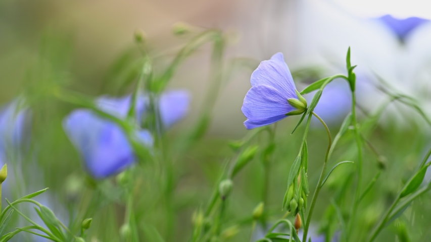 Flax (Linum usitatissimum) - close-up flowers and capsules. Spring flowers swaying in the light breeze natural background.