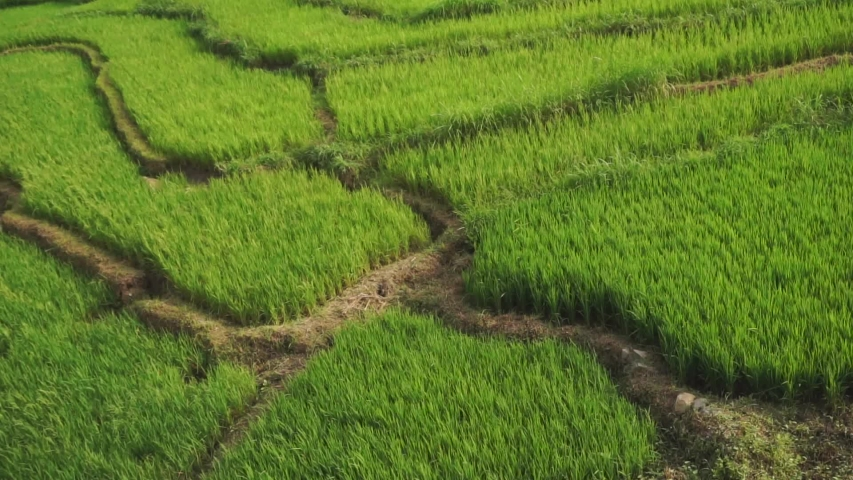 Top angle shot of a rice field during a windy day. Green young rice field texture with the wind blowing, Green rice plants growing.