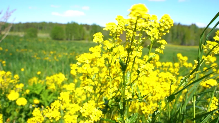 Yellow flowers blowing in wind. swaying yellow flowers in slow motion.