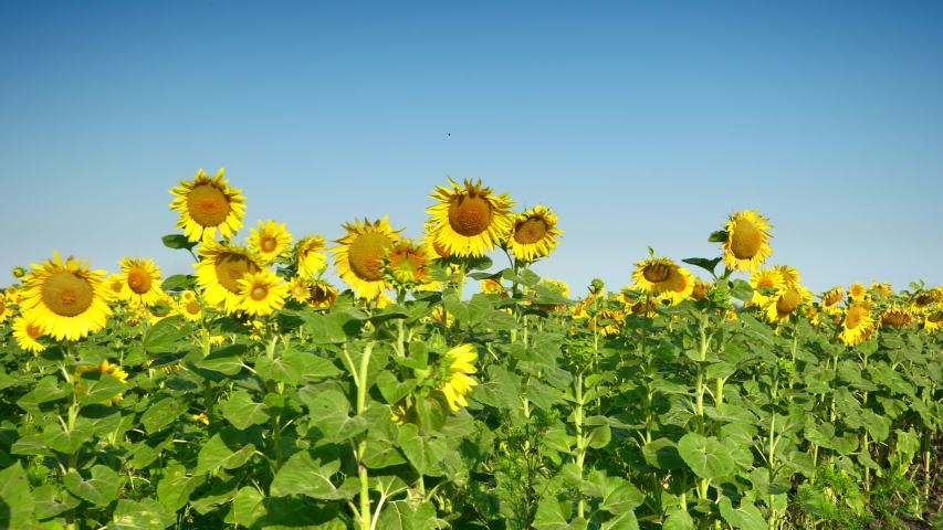 Moving Across Sunflower Field. Inspecting Crops | Shutterstock HD Video #1054735979