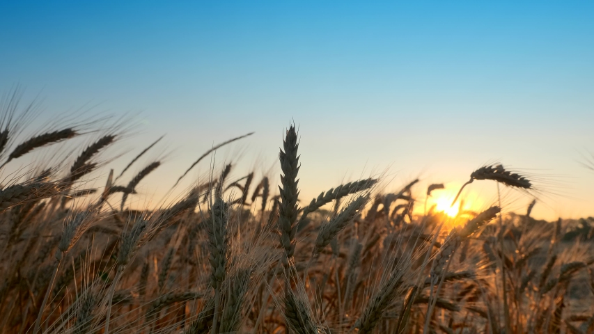 Morning Sunrise Shine Through Wheat Ears | Shutterstock HD Video #1054736066
