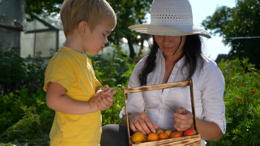 Child Eats Fruit. Mother Gives to Child Ripe Fresh Gathered Apricots in Backyard Garden. 2x Slow motion  | Shutterstock HD Video #1054736078