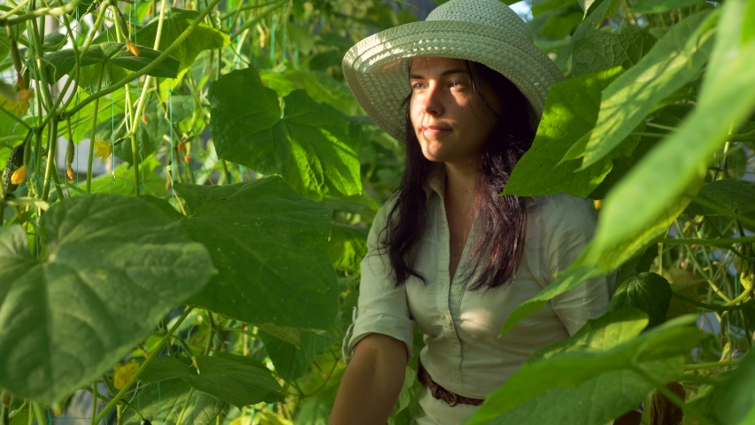 Woman Picks Cucumbers in Greenhouse. Organic Farming. 2x Slow motion -  | Shutterstock HD Video #1054736330