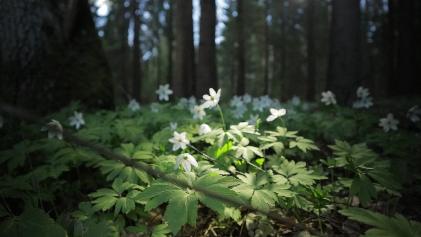 Video 4k, the first spring white Anemone flowers in the forest | Shutterstock HD Video #1054736375