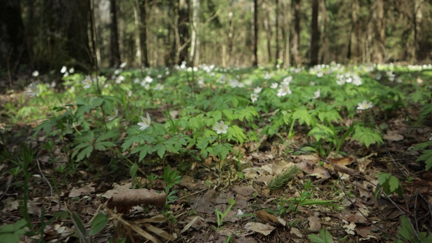 Video 4k, the first spring white Anemone flowers in the forest | Shutterstock HD Video #1054736378