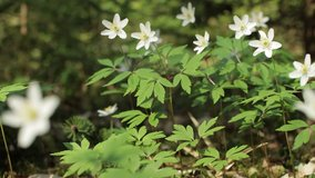 Video 4k, the first spring white Anemone flowers in the forest