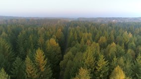 Aerial top down view of gravel road in forest in the autumn, misty morning. Drone shot flying over tree tops, Nature background in 4K resolution