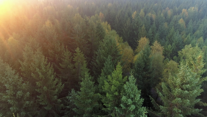 Aerial view of forest in Sweden at sunrise. Drone shot flying over spruce conifer treetops, nature background footage in 4K resolution