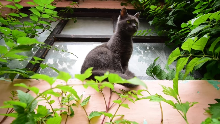 Russian blue cat sitting in front of a rural window and watching birds, with beautiful fresh green vegetation around
