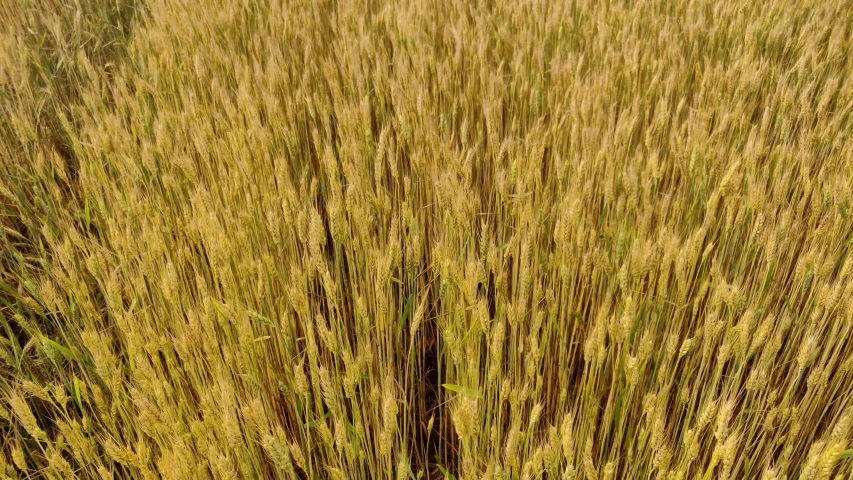 A large harvest of wheat in the summer on the field | Shutterstock HD Video #1054737242