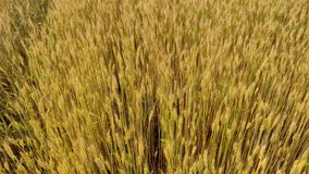 A large harvest of wheat in the summer on the field