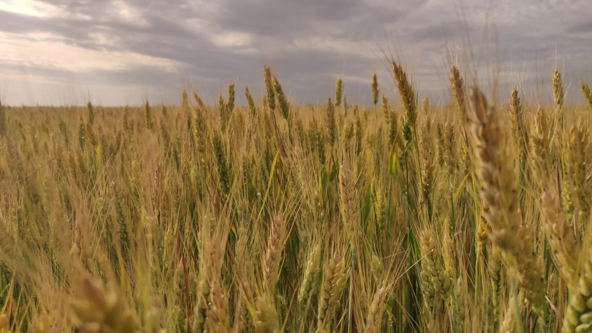 Spikelets of wheat on a large field in cloudy weather   Shutterstock HD Video #1054737245