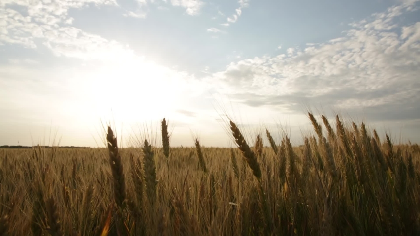 Ripe ears of wheat on the field during sunset Royalty-Free Stock Footage #1054737248