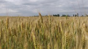 Walk on a yellow wheat field in summer on a cloudy day