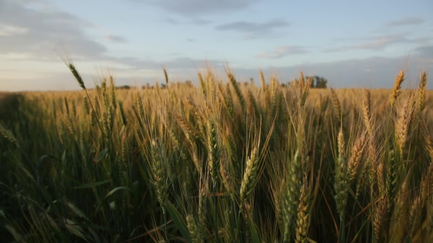 Tall ears of wheat on a field at sunset in summer in calm weather | Shutterstock HD Video #1054737254