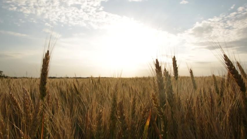 Ripe yellow wheat on the field at sunset | Shutterstock HD Video #1054737257