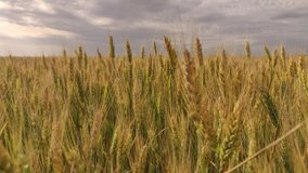 Spikelets of wheat on a large field in cloudy summer weather
