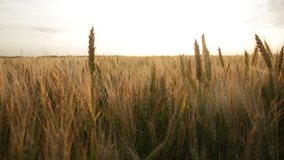 Tall ears of wheat on a field in summer sunset