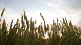 Tall ears of wheat on a field in bright sun