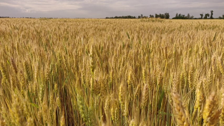 Spikelets of wheat on a large field in sunny weather   Shutterstock HD Video #1054737269