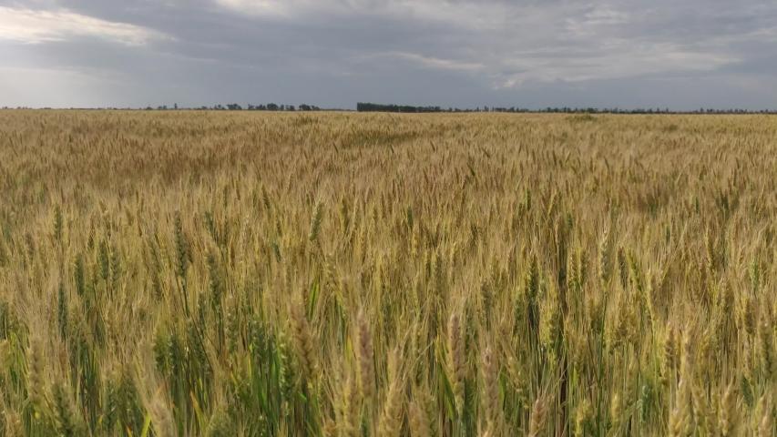 Wide wheat field with yellow spikelets in summer | Shutterstock HD Video #1054737272