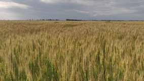 Wide wheat field with yellow spikelets in summer