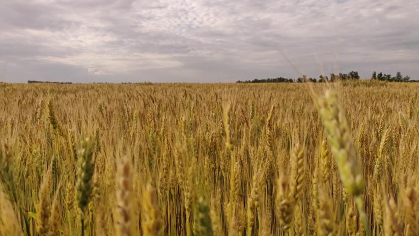 Walking through a large field of yellow wheat   Shutterstock HD Video #1054737275