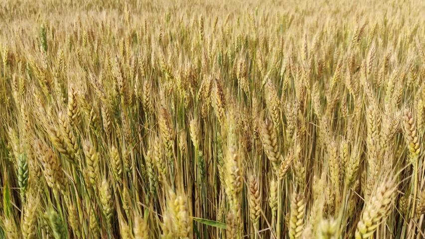 Walking in the yellow wheat field in summer | Shutterstock HD Video #1054737278