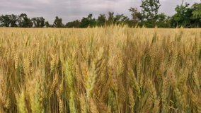 Walking in a wheat field in summer