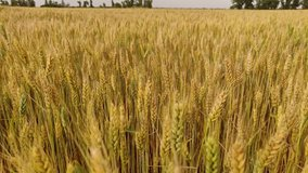 Walking in a large field of yellow wheat in summer