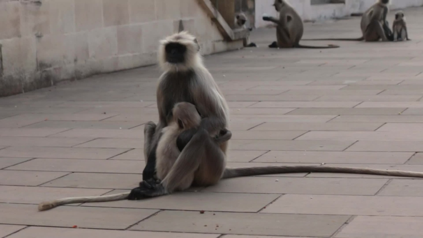 Happy and playing langur monkeys on fort