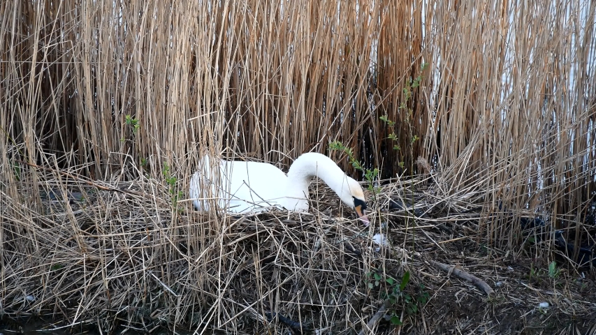 A lone white Swan builds a nest of dry grass and white feathers on the shore of a lake in the bushes in a city Park. Close up. Template. The animal sets up its home.
