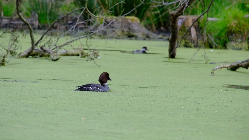 Small baby black duck swim in lake covered with green algae then dives into the water and disappears   Shutterstock HD Video #1054751843