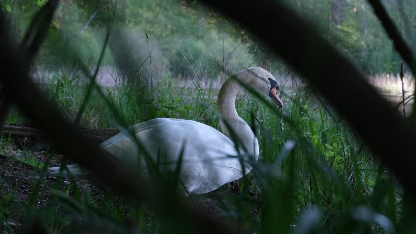 Beautiful white Swan close cinematic shot between green grass   Shutterstock HD Video #1054751867