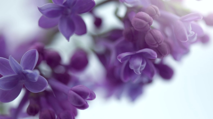 Lilac flowers bunch on white background. Beautiful opening violet Lilac flower Easter design closeup. Beauty fragrant tiny flowers open closeup. Nature blooming macro flowers backdrop. Time lapse 4K