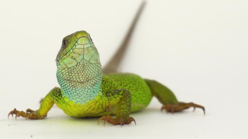 Green lizard on a white background screen.