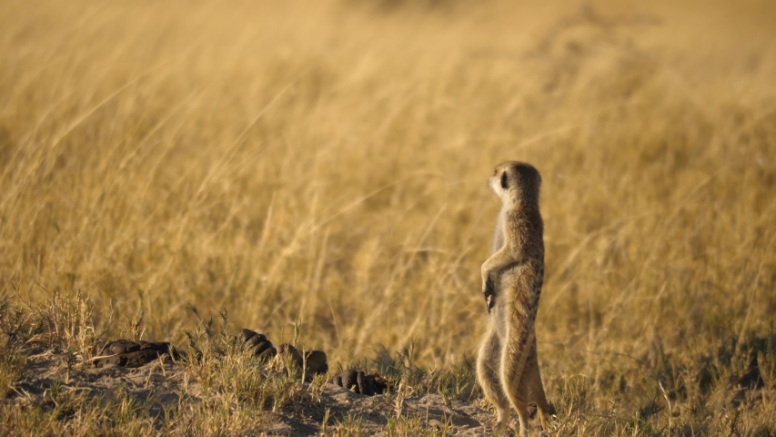 Full body shot of a meerkat standing upright while another meerkat runs past on all fours with its tail in the air. Royalty-Free Stock Footage #1054835135