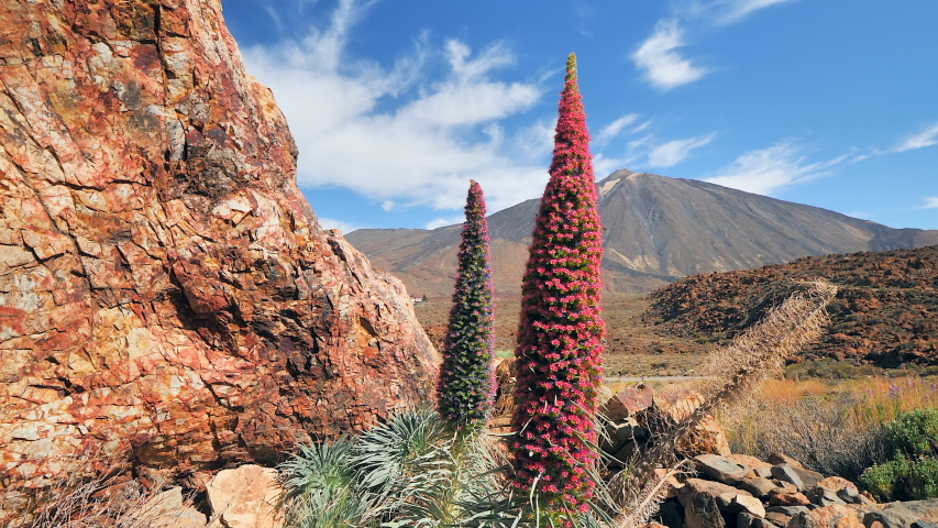 "Endemic plant ""Tajinaste Rojo"" with volcano El Teide in the background at El Teide National Park, Tenerife (Canary Islands). Crane shot   Shutterstock HD Video #1054836833"