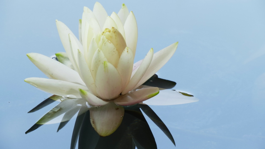 Close-up time lapse of water lily blooming in pond. White lotus flower timelapse opening. Nymphaea aquatic flower blossom in water from bud. Time-lapse reflection of clouds fast floating in the sky.