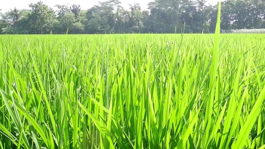 Green rice in the fields swaying in the wind | Shutterstock HD Video #1054843052